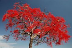 Brachychiton acerifolius-Illawarra Flame Tree - © All Rights Reserved - Black Diamond Images