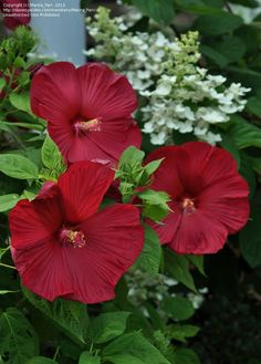 Full size picture of Hardy Hibiscus, Rose Mallow, Swamp Mallow 'Luna Red' (<i>Hibiscus moscheutos</i>)
