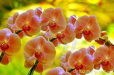 Sonata de orquídeas