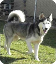 Pictures of Denver (and Aspen) a Husky for adoption in Newbury Park, CA who needs a loving home. Rescued from a puppy mill with Aspen. Very bonded pair. Must be adopted together.