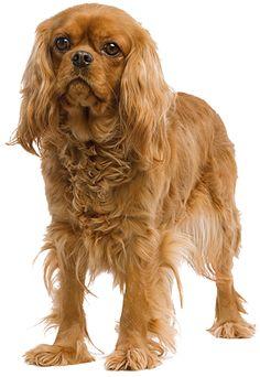 Cavalier King Charles Spaniel | Royal Canin