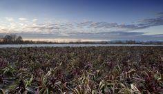 #radicchio #rosso #tardivo #Treviso #igp nel mese di dicembre #dicembre #cielo #paesaggio #campi