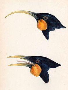 New Zealand Huia Bird. Female with curved bill and male below. Last confirmed sighting Swallow Bird Tattoos, Phoenix Bird Tattoos, Feather With Birds Tattoo, Black Bird Tattoo, Two Birds, Small Birds, Modern Birdhouses, Bluebird Tattoo, Diy Bird Bath