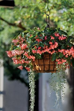 This hanging Begonia container adds a little drama
