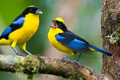 blue-winged mountain tanagers, photo by jjbirder