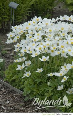 P14 Snowdrop Anemone - Anemone sylvestris | Bylands Nurseries Ltd.