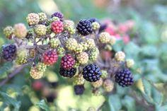 blackberries summer