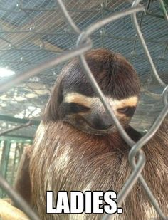 When boys look at you… Funny Animal Memes, Cute Funny Animals, Funny Animal Pictures, Cute Baby Animals, Animals And Pets, Funny Gifs, Cute Baby Sloths, Cute Sloth, Funny Sloth