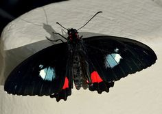 Parides iphidamas / Voilier iphidamas Beautiful Butterfly!!!!