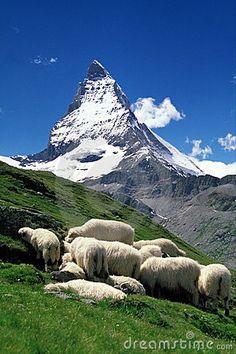How High Is The Matterhorn | Sheep graze in a high alpine meadow, with the Matterhorn in the ...