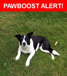 Is this your lost pet? Found in Kent, WA 98030. Please spread the word so we can find the owner!  Black and white Border Collie Lab mix, crooked stripe up forehead, greying around eyes.  No chip, adjustable collar but no tags.  Near S 277th St & Green River Rd