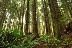 British Columbia Rainforest along the Juan de Fuca trail on a very misty day.