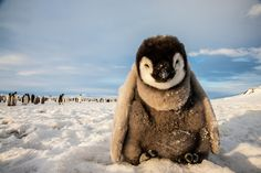 An emperor penguin chick rests near the floe edge at Cape Washington on the frozen Ross Sea
