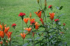 Brennende kjærlighet og safranlije (Lilium bulbiferum var. croceum).