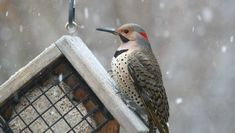 A Northern flicker eats suet out of a feeder
