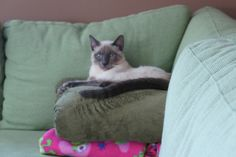 Saphie - our Blue Point Siamese