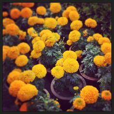 Marigolds of India