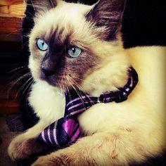 Our handsome boy! #mittens #cute #cat #kitten #bowtie #handsome #boy #soft