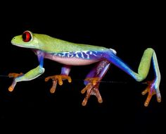 Colourful tree frogs photographed by Angi Nelson - Telegraph