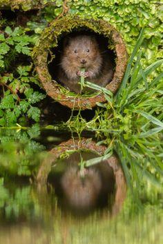 Water vole - Kent, England
