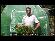 Bromeliads Online - How to harvest pups from bromeliads and mini-neos