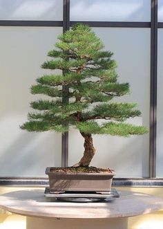 If you intend to grow the bonsai from seeds, remember that you want to set the seeds in a fridge for around a week before planting. Growing a bonsai can be an Bonsai Soil, Bonsai Plants, Bonsai Garden, Garden Trees, Succulents Garden, Air Plants, Cactus Plants, Garden Art, Garden Plants