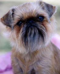 Griffon Bruxellois- so ugly but so cute