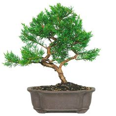 The Shimpaku Juniper Bonsai Tree from Nursery Tree Wholesalers is considered by many bonsai masters to be the finest and most attractive bonsai in existence. Many of the bonsai trees display in nation