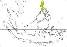 Green-backed Whistler (Pachycephala albiventris)