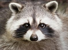 Google Image Result for http://www.peta.org/cfs-filesystemfile.ashx/__key/CommunityServer-Components-SiteFiles/Peta-Images-Main-Sections-Features/raccoon7.jpg
