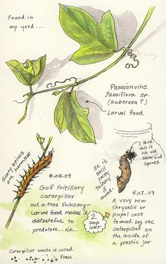 Nature walks and notebook ideas . . . . .gulf fritillary caterpillar and passionvine