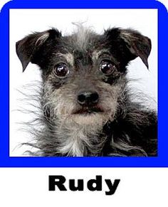 Plano, TX - Little Dogs Big Hearts Rescue, Schnauzer (Miniature)/Chihuahua Mix. Meet Rudy, a dog for adoption. http://www.adoptapet.com/pet/11150328-plano-texas-schnauzer-miniature-mix