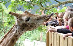 Le bélvédère aux girafes - Les activités - Pairi Daiza