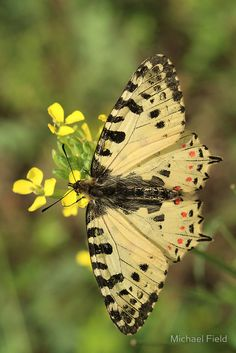 Eastern Festoon Butterfly
