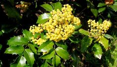 Oregon Grape Holly (1.25m) Small evergreen shrub with bronze-green foliage turning reddish in winter. Yellow flowers in spring; blue berries follow. Sun or shade. Canadale Nurseries Ltd.