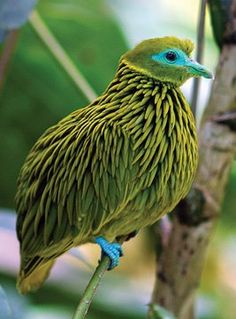 Golden Fruit Dove from Fiji
