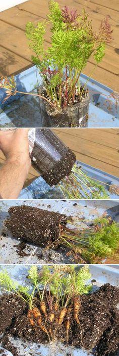 Planter les carottes dans une bouteille Soda .JAS.
