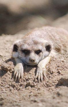 Lazy little meekat.