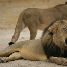 Zimbabwean authorities say that a Minnesota man is responsible for slaying one of the country's most beloved lions.