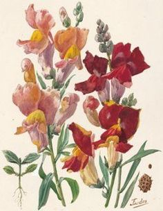 Watercolor of Snapdragons, C. 1930