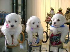 My precious! Teacup Maltese, Maltese Puppies, White Dogs, My Precious, Dog Stuff, Puppy Love, Babys, Madness, Smile