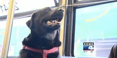 SEATTLE DOG FIGURES OUT BUSES, STARTS RIDING SOLO TO THE DOG PARK David Utter, Dog Trainer:  Service & Therapy Dogs, Behavior Modification, Obedience   Train and Board. www.DavidUtter.com  www.TrainingDogsOnline.com  1-888-959-7463