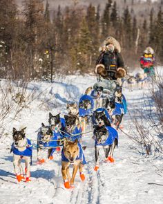 SLED DOG SPIRIT BORN TO RUN SIBERIAN HUSKY HUSKIES SLED DOGS CAR STICKERS DECALS