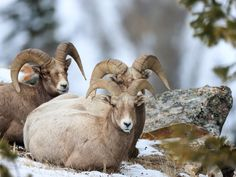 Picture of bighorn sheep in snow, Grand Teton National Park