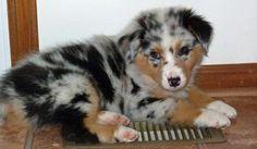 Ralphie the Australian Shepherd-Gorgeous!!!