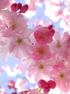 The Peach Blossom flower symbolizes the sweetness of life, loving life and being captivated or challenged with finding sweetness in your world. Peach blossom is of the heart chakra. Wonderful Flowers, My Flower, Pretty Flowers, Heart Flower, Exotic Flowers, Flower Tree, Colorful Roses, Cactus Flower, White Flowers