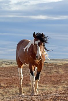 A stunning tri-color bay pinto horse | Wild mustang stallion