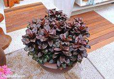 A Dracena baby e um arbusto, pertence a família Asparagaceae, nativo da Índia, Malásia e Polinésia, perene, de caule ereto, semi-lenhoso. Folhas coriáceas..