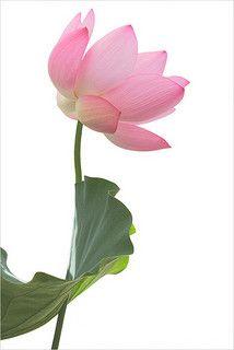 Pin by mirei on hasulotus poems pinterest lotus flower seeds beauty in everything beautiful photos everyday mightylinksfo