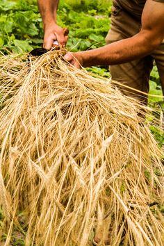Dry rye sheaf  Photo: Vajda Emese